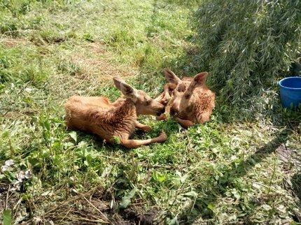 ВЦентре спасения диких животныхРБ поселились лосята