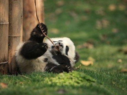 В «Поднебесной» отмечается массовое рождение панд-близнецов