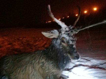 ВУфе спасли тонущего вреке белого оленя