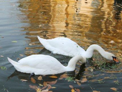 Возеро парка Аксакова вернулись лебеди